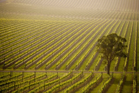 vineyards...!