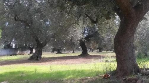 olive grove at property we saw