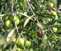 i olivi