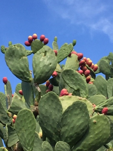 prickly pears2